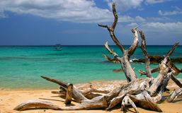 Dead Tree. On a beach in Barbados royalty free stock photos