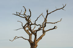 Dead Tree. Photograph of a dead tree showing bare branches Stock Photos