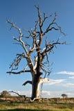 Dead tree. Old dead oak tree on sunny day Stock Photo