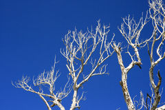 Dead tree. Branch of dead tree and blue sky Stock Images