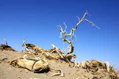 Dead tree. Of diversifolia populus in the desert royalty free stock photography