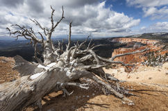 Dead Tree. Bristlecone Loop, Bryce Canyon, Utah, USA Royalty Free Stock Image