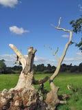 Dead Tree. Fallen dead tree in a field Royalty Free Stock Photos