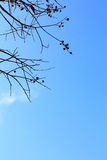 Dead tree on blue sky using for you background. Dead tree and blue sky using for you background royalty free stock photos