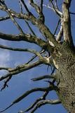 Dead tree. With blue sky Royalty Free Stock Photography