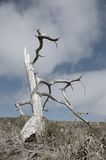 Dead tree. A solitary dead tree bleached by the hot California sun Royalty Free Stock Image