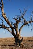 A dead tree. Kind of dead tree in dry desert Stock Image