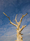 Dead tree 5513. Dead tree against a blue sky Stock Photos