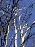 Dead tree. Dead Elm tree.Died from Dutch elm disease Stock Photos