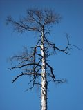 Dead tree. On a background of the dark blue sky Royalty Free Stock Photography
