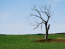Dead Tree Royalty Free Stock Image