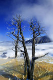 Dead Tree. A dead tree sits in a hot pool at Mammoth Hot Springs in Yellowstone National Park in the winter Stock Photo