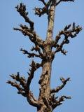 Dead Tree. A dead tree against a blue sky Stock Photography