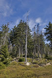 Dead tree. In coniferous woodland at bright sunny day Stock Photo