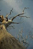 Dead tree. S reaching for the sky Stock Photography
