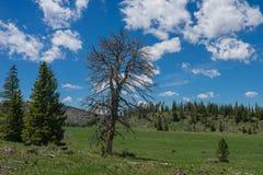 Dead Tree Above Mountain Meadow Stock Photo