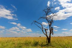 Dead tree against the blue sky Royalty Free Stock Images