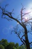 DEAD TREE AGAISNT BLUE SKY. Royalty Free Stock Photo