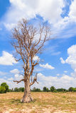 Dead tree alone in the field with blue sky Royalty Free Stock Photo