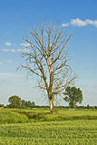 Dead tree. Amongst green filds and meadows by the river Stock Images