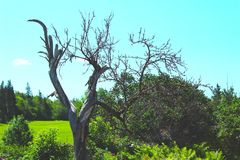 Dead tree. At Anna Green Gables` garden. Bright and sunny day for pictures Stock Image