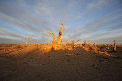 Dead tree  in autumn dawn Stock Photo