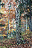 Dead tree in the autumn deciduous forest, colorful seasonal natu Royalty Free Stock Photography