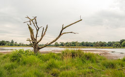 Dead tree with bare branches in a marshy area Stock Images