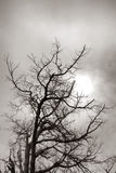 Dead Tree Bare Branches Silhouette in Soft Sun Stock Photos