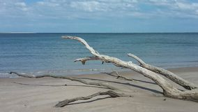 Dead tree on beach. Tree driftwood on beach Stock Photo