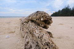 Dead tree on a beach at sunshine. Old dead tree at the beach over the sunshine Royalty Free Stock Photo