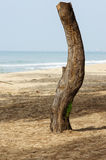 Dead tree on beach Royalty Free Stock Photography