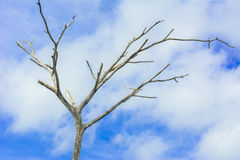 Dead tree beautiful. A dry old tree with blue sky background Royalty Free Stock Photo