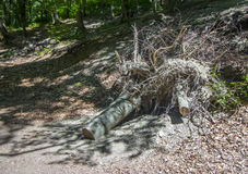 Dead tree with big roots Royalty Free Stock Image