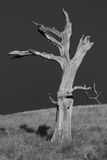 Dead tree, black and white. Life and dead are close together. Dead tree in front of black sky in southern california, Black and white photo Royalty Free Stock Image