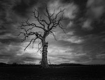 Dead tree in black and white dark clouds in Much Wenlock Shropshire. Dead tree in black and white with dark clouds. No leaves. bare branches Stock Image