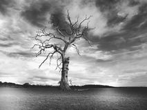 Dead tree in black and white dark cloudsi in Much Wenlock Shropshiren Much Wenlock Shropshire. Dead tree in black and white with dark clouds. No leaves. bare Stock Images