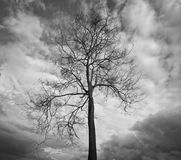 Dead tree in black and white. Dead tree in the farmland Royalty Free Stock Photo