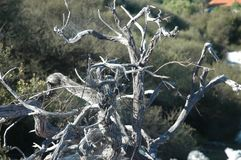 Branches of a dead tree covered in cobwebs. A dead tree bleached white by the sun. The branches are covered in cobwebs. Behind is some dark green scrub Royalty Free Stock Photography