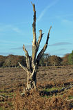 Dead tree blue skies. A spooky dead tree set against a blue sky set in heather strewn moor Stock Photos