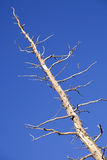 Dead Tree & Blue Sky Stock Photo