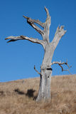 Dead tree, blue sky. Life and dead are close together. Dead tree in front of blue sky in southern california Stock Photos