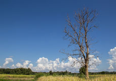Dead tree on blue sky background Royalty Free Stock Images