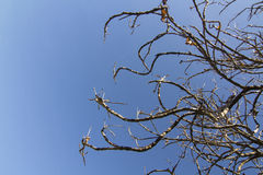Dead tree on blue sky Stock Photo