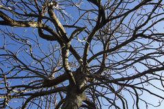 Dead tree on blue sky Royalty Free Stock Images