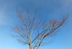 Dead tree with blue sky background Royalty Free Stock Photo