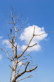 Dead tree and blue sky background Stock Images