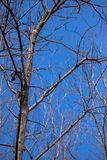 Dead tree and blue sky in the big forest. With out leaf royalty free stock photography