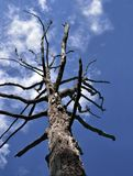 Dead Tree Blue Sky with Clouds. Low angle view of a dead tree against a blue sky. Tree was chewed by beavers Royalty Free Stock Images
