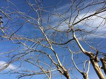Dead tree with blue sky. royalty free stock photos
